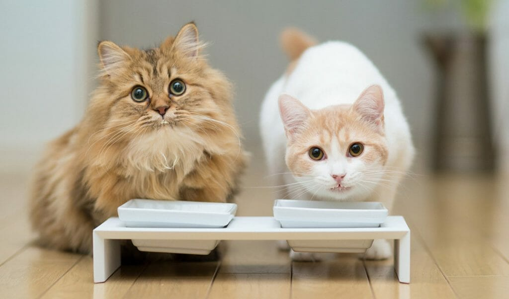 Два кота кушают корм