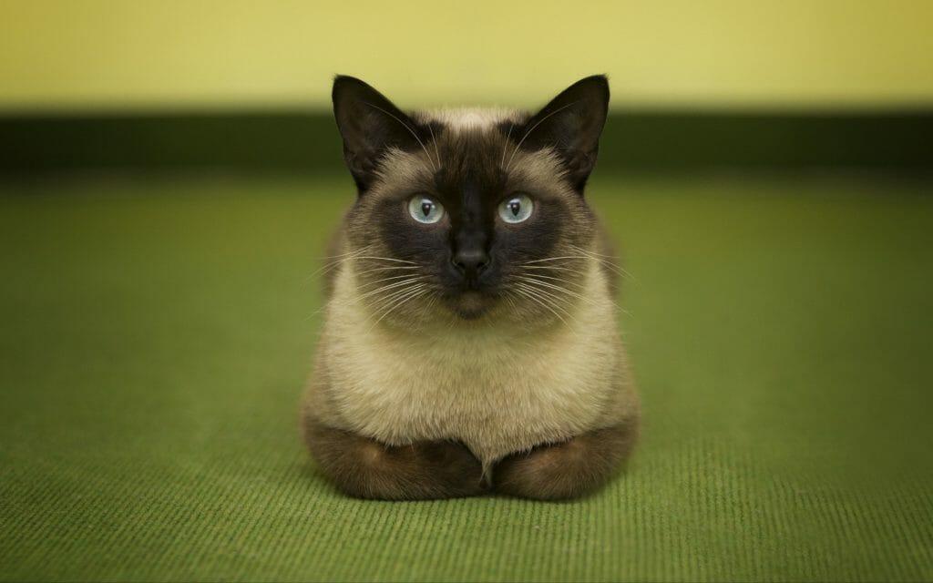 Молодая сиамская кошка