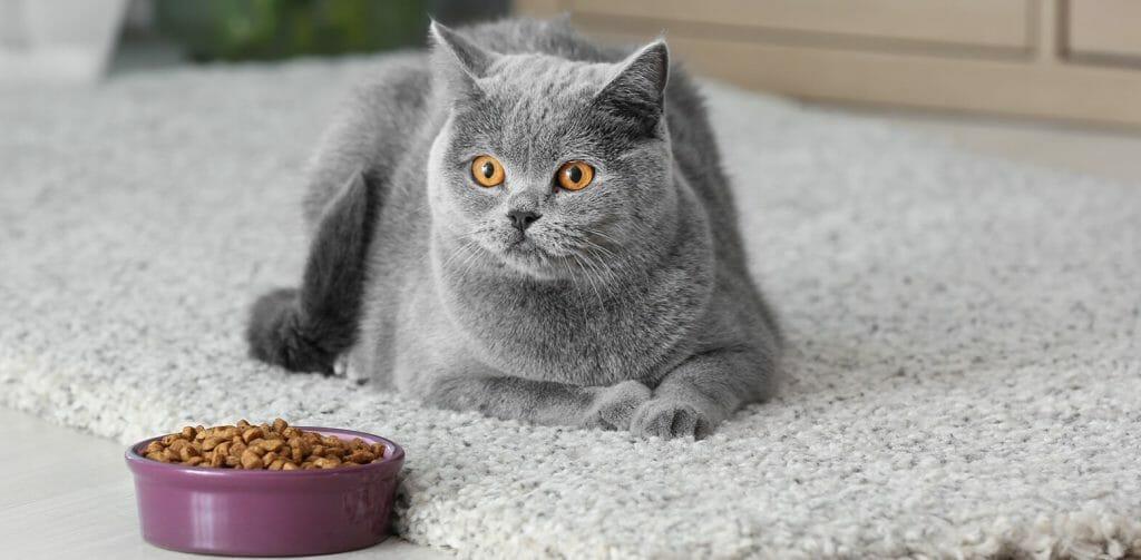Стерилизованная кошка возле миски с сухим кормом
